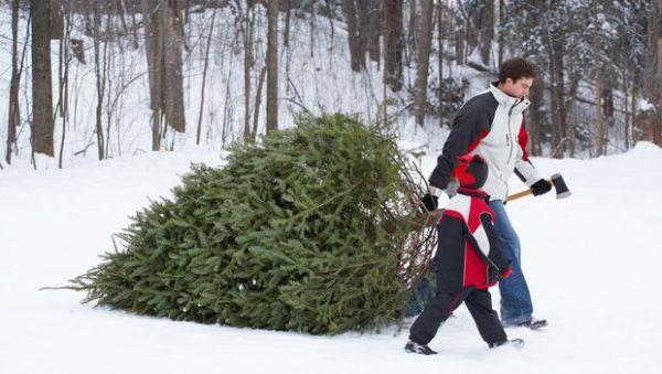 Picking the right Christmas Tree