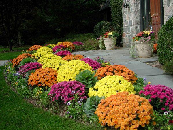 Chrysanthemums line a fall garden path