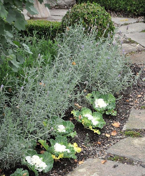 Ornamental kale along a garden path