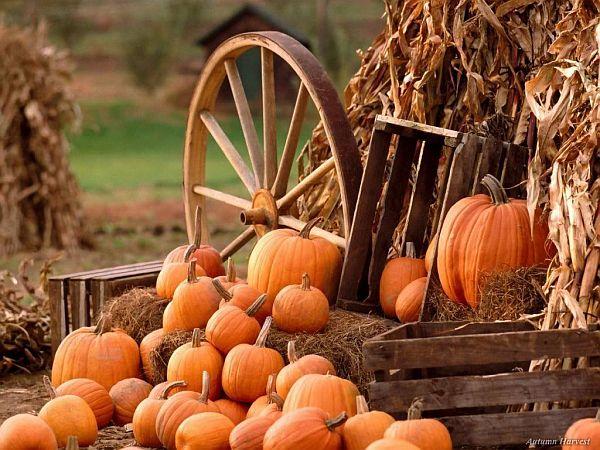 lots-of-pumpkins-at-the-ranch