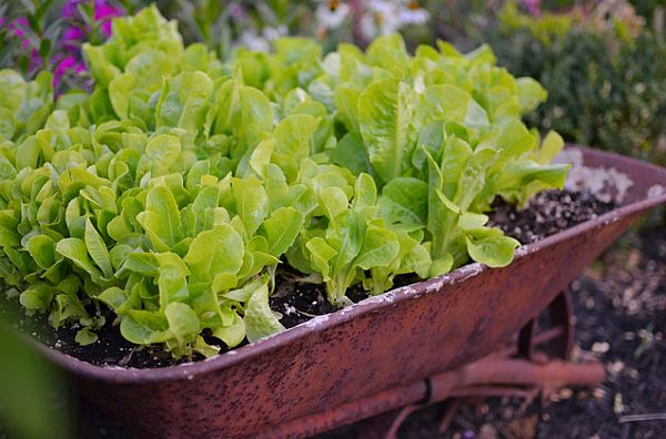 planting lettuce in your garden How to Create a Cold Season Vegetable Garden