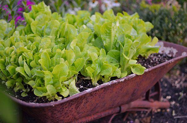 planting-lettuce-in-your-garden