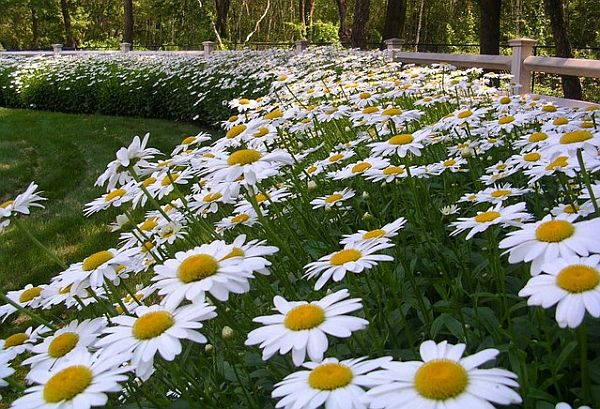 daisies flower bed