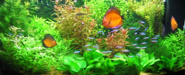 Aquariums look their best when uncluttered with too many fishes
