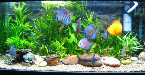 Tropical fish tanks allow for using more colorful and brighter fishes
