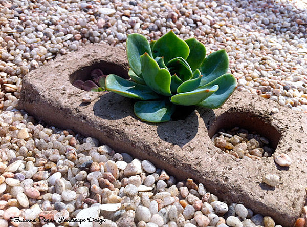 Succulent in a gravel-filled yard