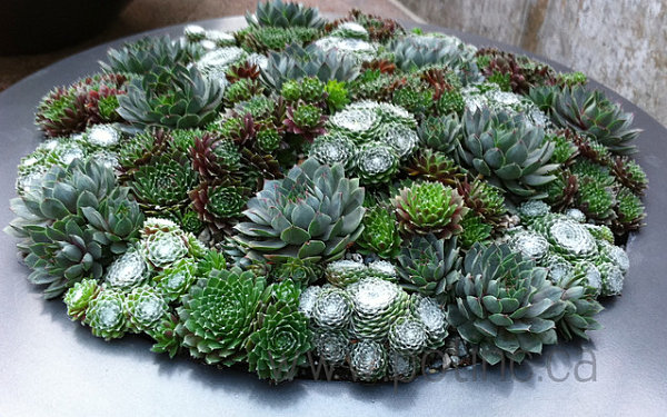 Succulents of similar shape in a round planter