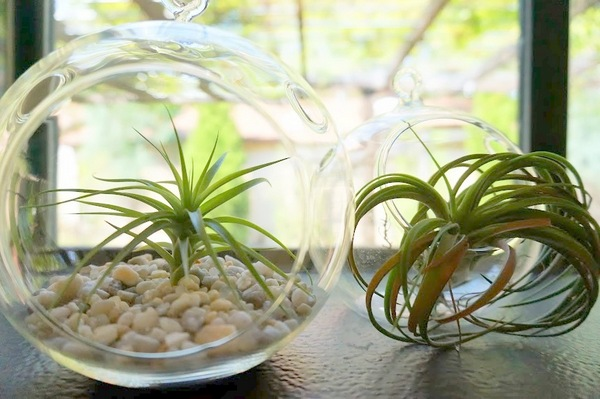 A pair of air plants in a picture window