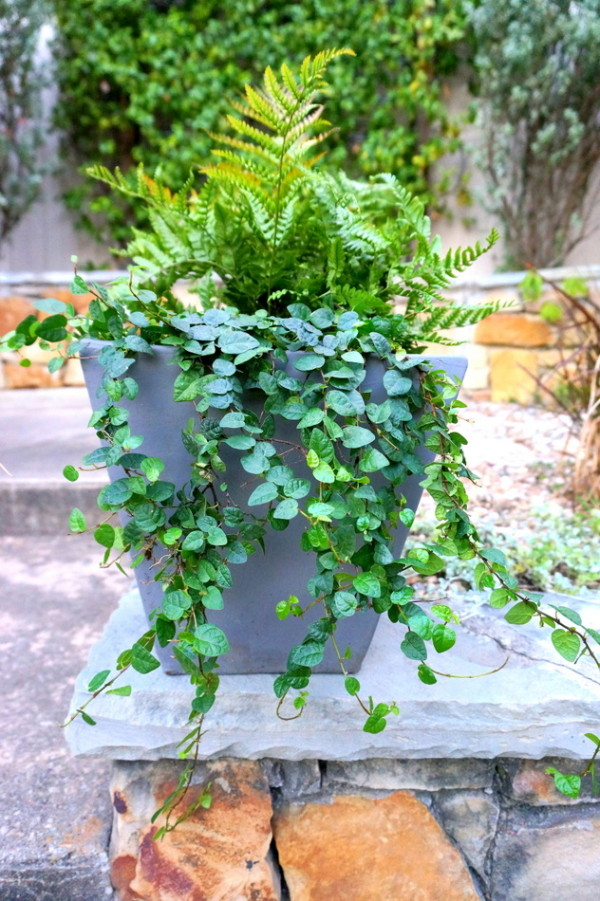 Autumn fern in a gray pot