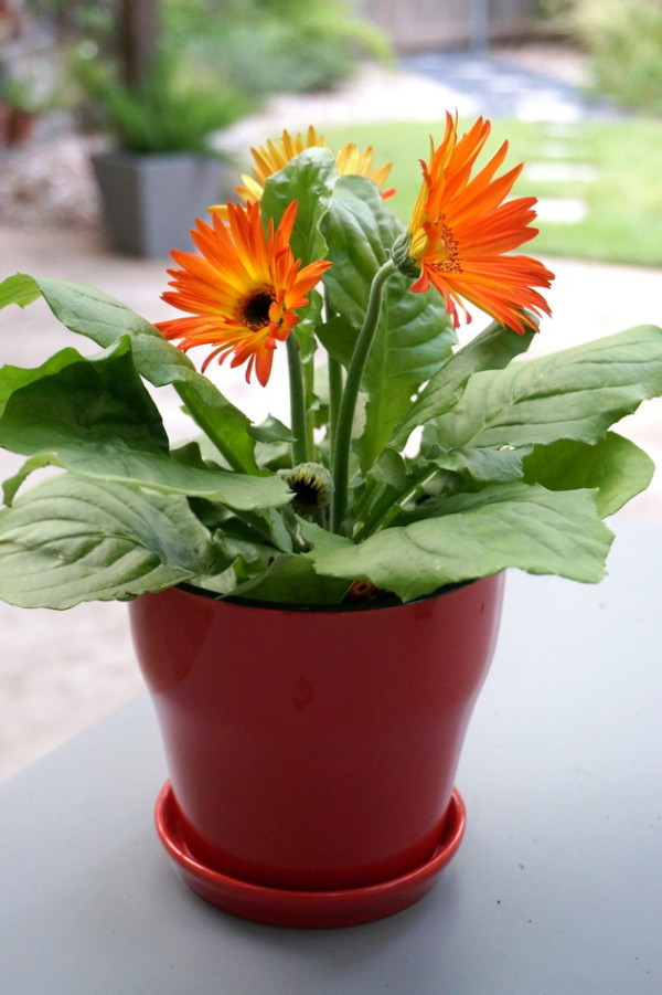 Gerbera daisies in a red pot