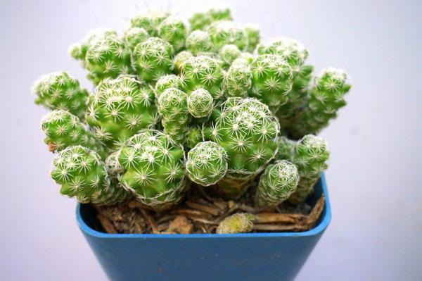 Succulent in a blue pot