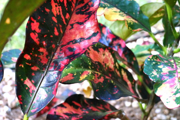 The gorgeous leaves of the croton plant
