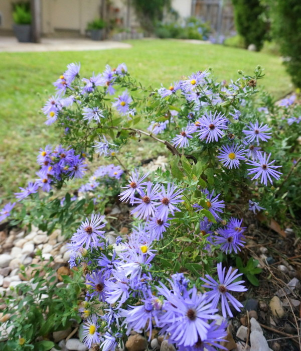 Blooming aster is a vivid contrast to a green palette