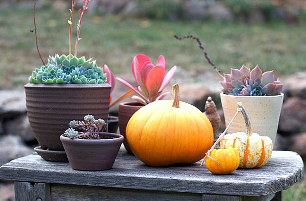 Pumpkin succulent medley