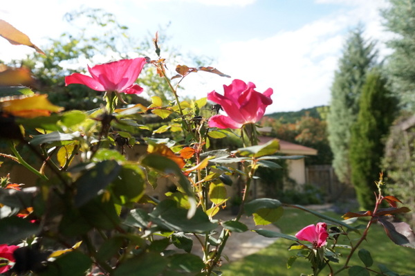 Many roses bloom more than once a year