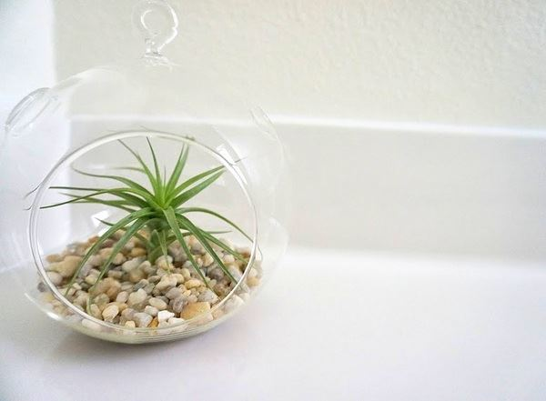 Air plant in a glass globe