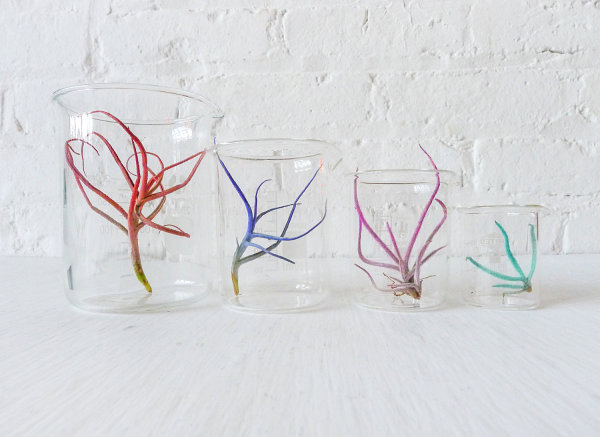 Colorful air plant beaker garden