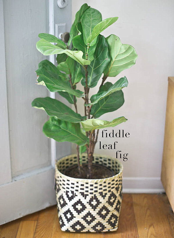 View in gallery fiddle leaf fig in a woven pot