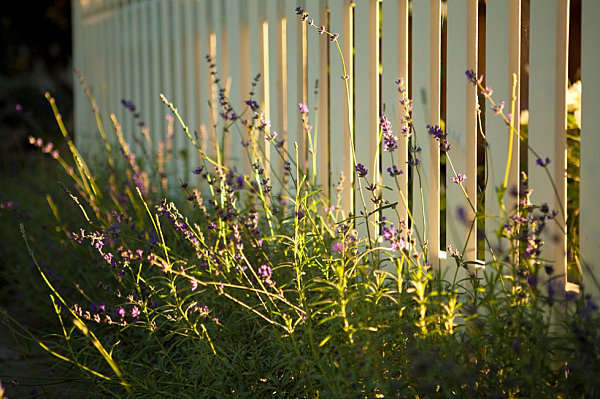 Flowering plants along a white fence