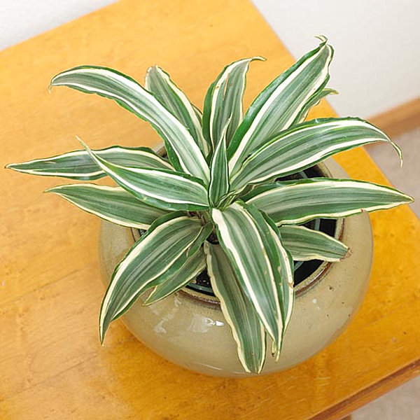 Green dracaena in a beige planter