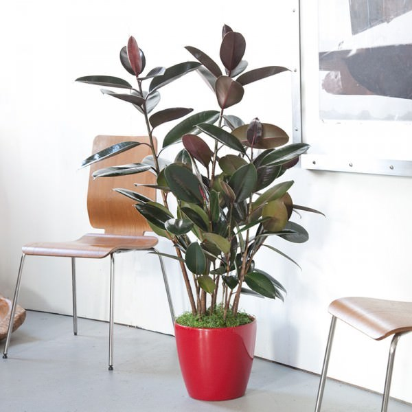 Rubber plant in a red pot
