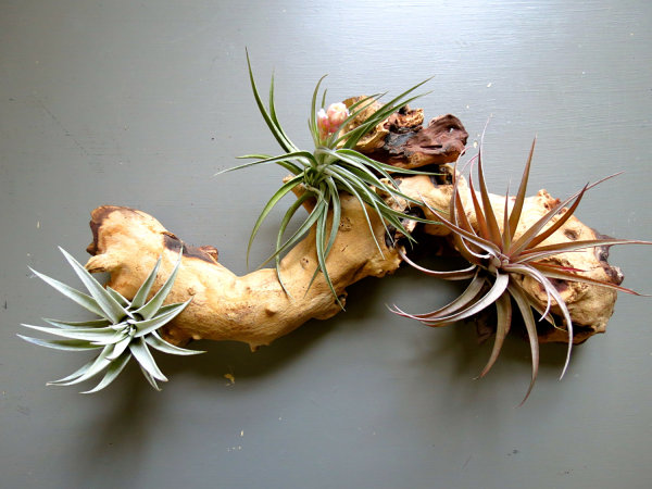 Air plant wooden branch display