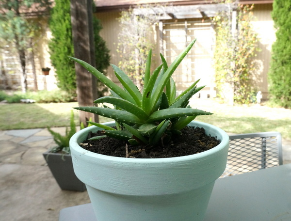 Aloe in a painted pot