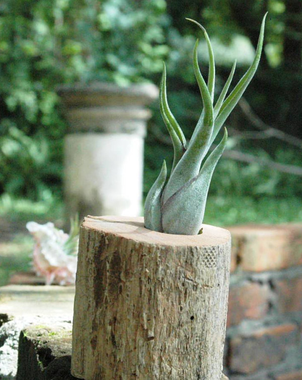 Cedar stump air plant container