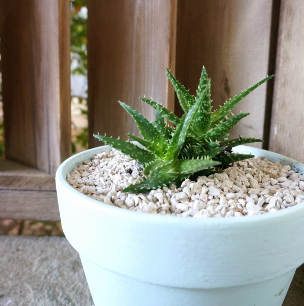 Limestone gravel covers the soil of this potted aloe plant