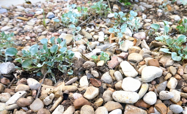Planting new ground cover