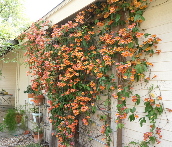 Trumpet vine cascades down the trellis