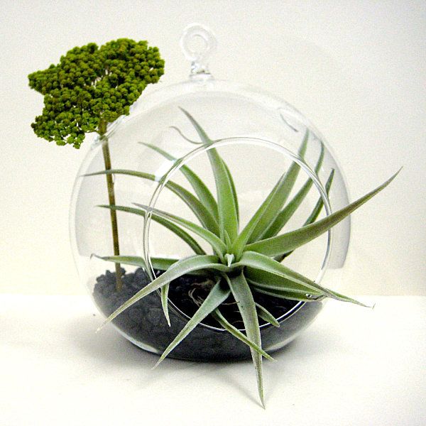 Air plant terrarium with yarrow