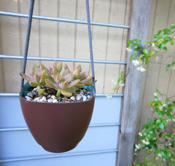 Succulent in a hanging planter