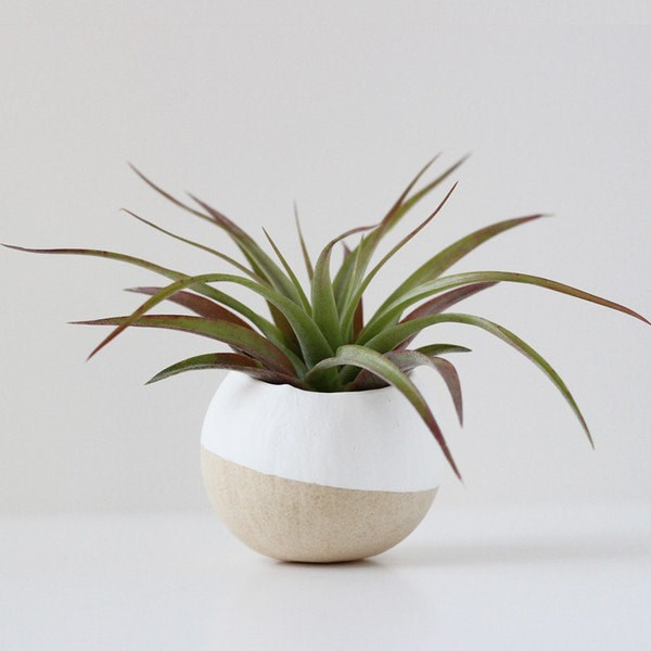 Air plant and pod from Bird and Feather