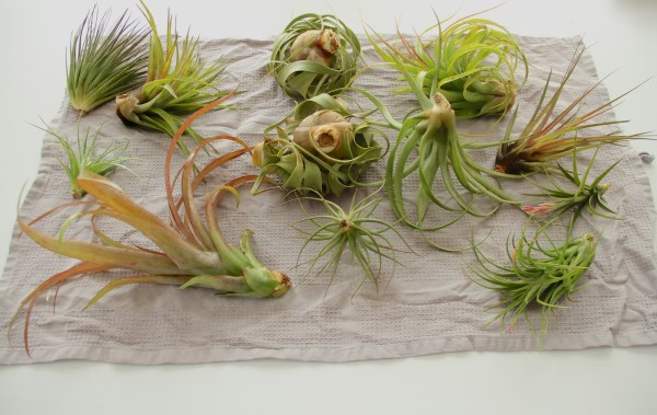 Air plants drying on a towel