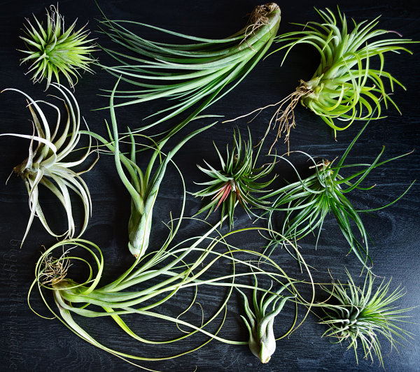Air plants from Etsy shop Bigger Than Little Air Plant Care Tips To Help Your Greenery Thrive