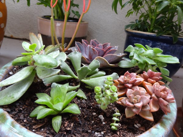 Arrangement of shade-loving succulents