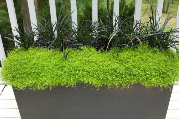 Lovely View In Gallery Black Mondo Grass In A Container With Scotch Moss