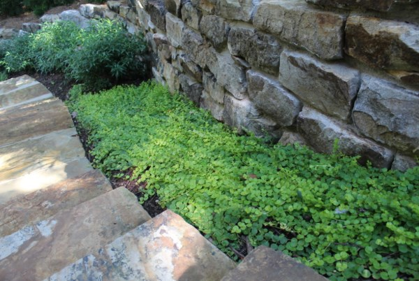 Creeping Jenny on a shaded pathway