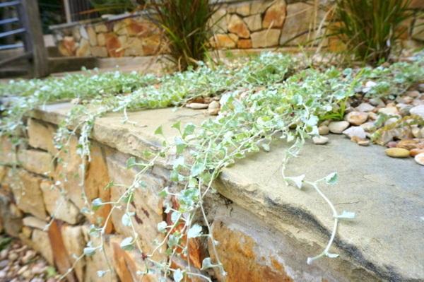 Silver falls dichondra cascades over a wall