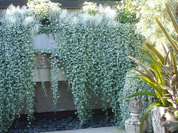 Silver falls dichondra shimmers and cascades