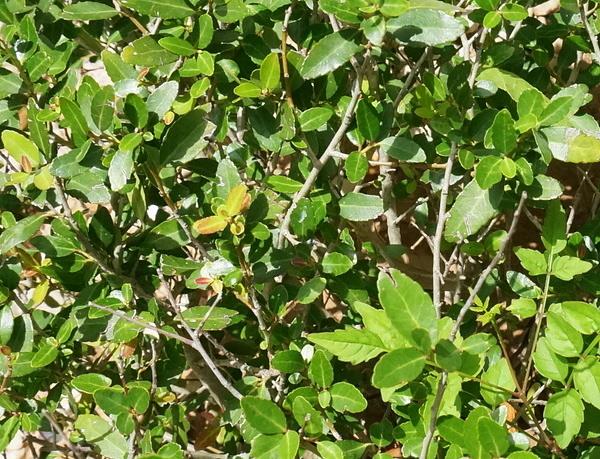 Yaupon leaves