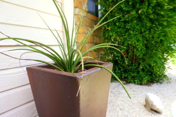 Yucca in a modern planter