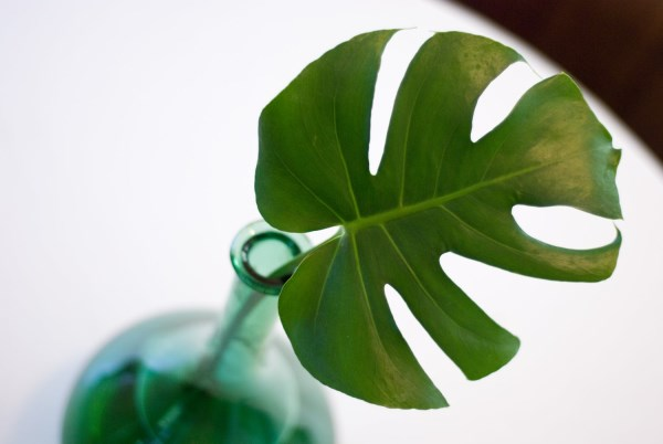 Monstera leaf in a glass vase
