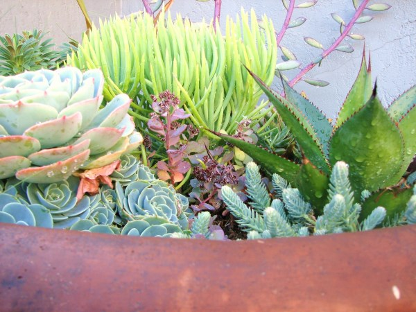 Succulents in a large planter