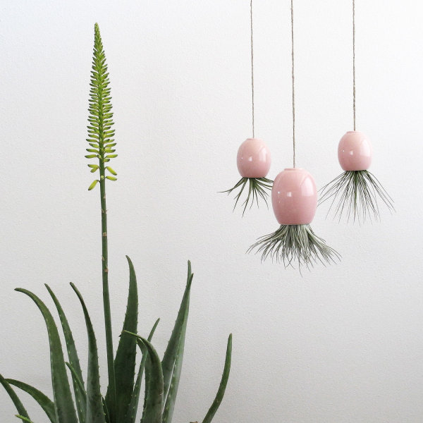 Trio of hanging air plant pods