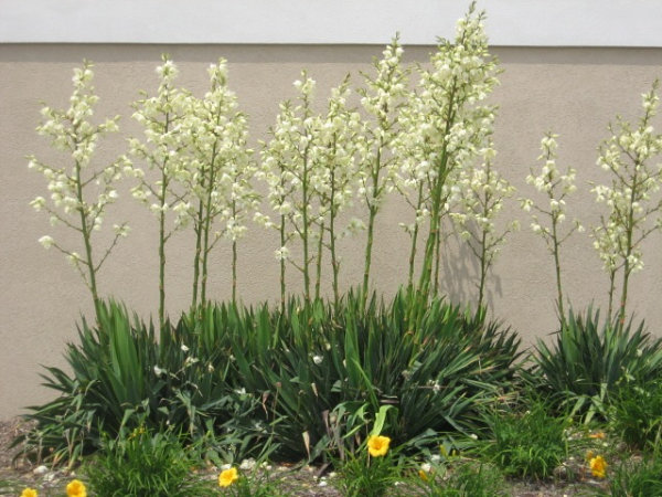 White yucca in bloom