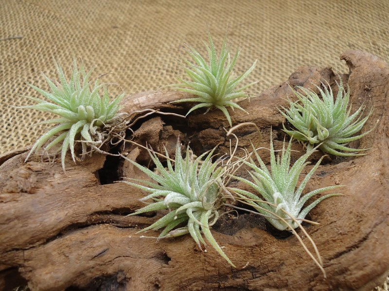 5 mini air plants from Etsy shop CTS Airplants