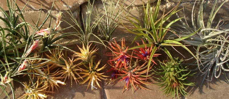 Air plants from Etsy shop Twisted Acres Where To Buy Air Plants Online