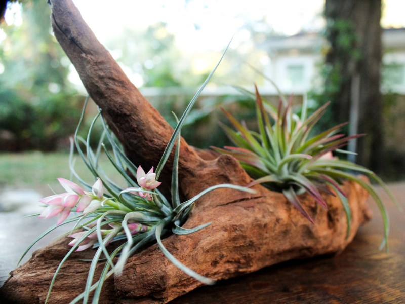 Blooming Air Plant Kit from Air Plant Design Studio
